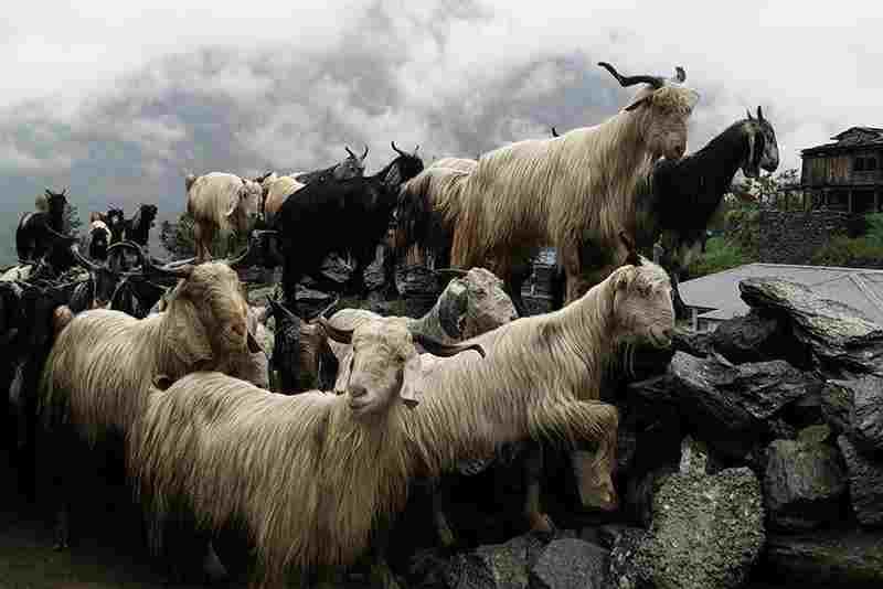 rebaño de cabras, piel de cabra para colchon de agua